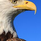 The Bald Eagle (Haliaeetus leucocephalus) by Clare Scott