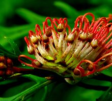 Toothbrush Grevillea. by Bette Devine