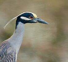 Yellow-Crowned Night Heron Portrait by Paul Wolf