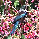 Tui - A native of New Zealand by Roy  Massicks