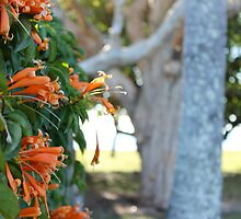 Orange Trumpet Vine - Mackay, Queensland.  by Margaret Stanton