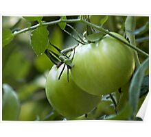 Green Tomatoes on the Vine Poster