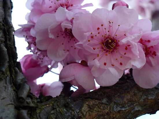 how many blossoms on a branch ~ who can possibly answer that! by byzantinehalo