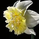 Daffodil Delight by Joy Watson