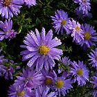 purple asters with dew by Jicha
