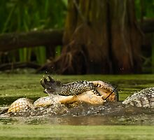 Gator Cannibalism by Paul Wolf