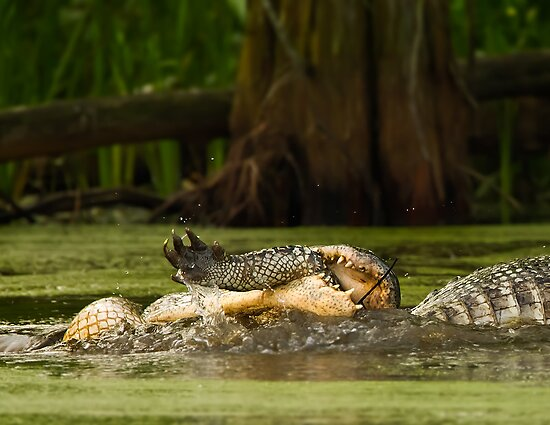 Gator Cannibalism by Paul Wolf