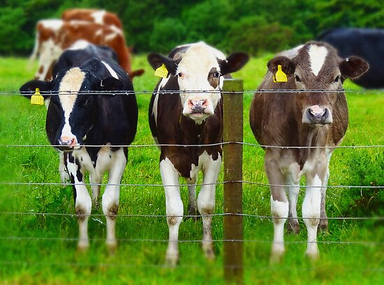 The three degrees... ( in bovine form ) by artyfifi