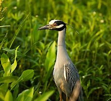 Yellow-Crowned Night-Heron in its Environment by Paul Wolf