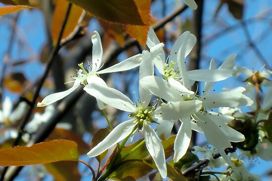 Shad Blossoms by Kathleen Daley