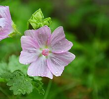 Musk Mallow by relayer51