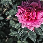 Pink rose by Wendy  Rauw
