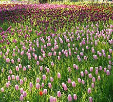Tulip Field Tulips Pink Light Pink Tender by HQPhotos