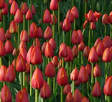 Tulip Field Tulips Red Closed To Tulpenbluete by HQPhotos