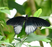 Papilio Ascalaphus Butterfly Black White by HQPhotos