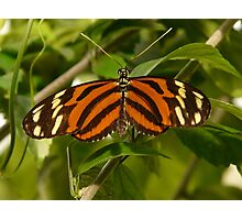 Tiger-passionsfalter Butterfly Photographic Print