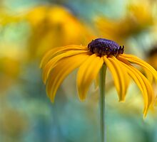 Black eyed Susan by Mandy Disher