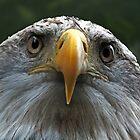 Bald Eagle by Yampimon