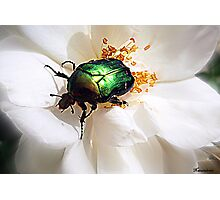 Rose Chafer Photographic Print