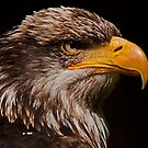 Maturing American Bald Eagle by JMChown