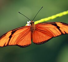 Flame butterfly by Photo Scotland