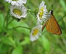A Small Skipper on Small Daisies by lindsycarranza