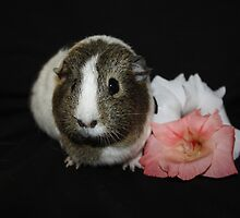 Daisy the Guinea Pig by AnnDixon