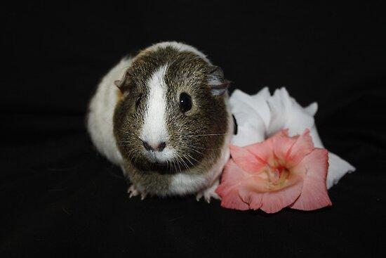 Daisy the Guinea Pig by AnnDixon