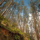 Black Spur Ridge Yarra Ranges National Park by Janette Rodgers