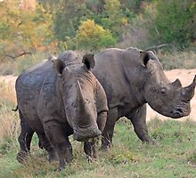 White Rhino`s on the move by jozi1
