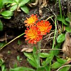Orange Hawkweed Trio by Tracy M
