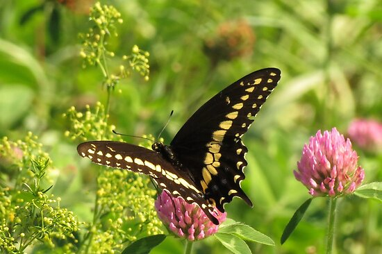 Black Swallowtail by Ron Russell