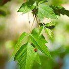 Ladybug on Leaf by Shannon Kerr