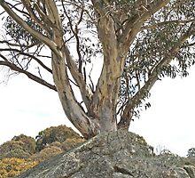 Lonely Gum Tree in a granite field by Kelly Walker