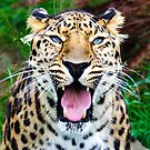 Leopard by Thasan