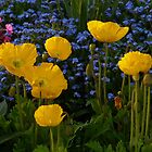 Iceland Poppy Flower Yellow Plant by justforyou