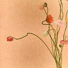 Poppies by deanobrien