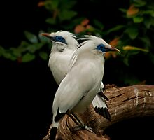 Bali Starlings, Cotswold Wildlife Park by JMChown