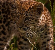 Amur Leopard Cub by JMChown