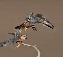 Red-footed falcons - male and female by wildlifephoto