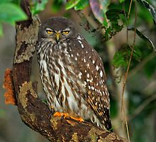 Barking Owl  -  Tyto Wetlands Ingham Nth Queensland by Leslie-Ann