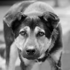 Colorless dog  by yossi rabinovich