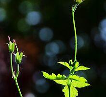 Wild Geraniums ~ Geranium Sanguineum by Susie Peek