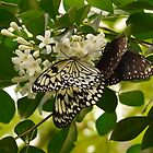 White Baumnymphe Small Baumnymphe Butterfly by justforyou