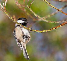 Hanging Around - Black-capped Chickadee by Tom Talbott