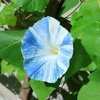 Heavenly Blue  Morning Glory by RoyceRocks