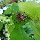 Garden Spider by nayohme