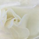 One white rose by Celeste Mookherjee