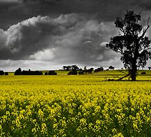 Stormy Canola Fields by Kate Wall