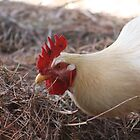 Brownsea Island Chicken by mdench